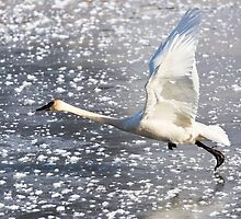 Trumpeter Swan Taking Off by cavaroc