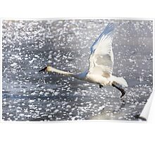 Trumpeter Swan Taking Off Poster