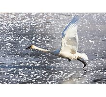 Trumpeter Swan Taking Off Photographic Print
