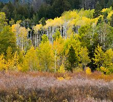 Snow and Fall Aspens by cavaroc