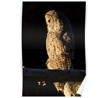 Perched Great Gray Owl Poster