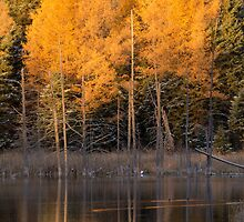 Autumn Tamarack Trees and Pond by cavaroc
