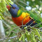 Lorikeet at King's Park by simonescott