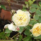 Yellow Rose  by KirstyJSwinger
