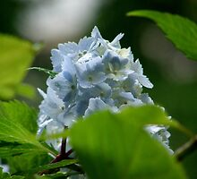 wonderfull blue hydrangea by vlasta vihar
