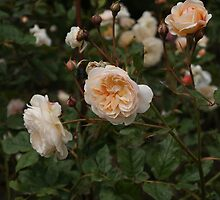 Peach Rose Bush by KirstyJSwinger