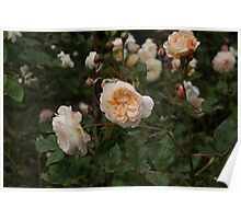 Peach Rose Bush Poster