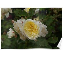 Yellow Rose Bush  Poster