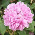 Pink Rose Bloom  by KirstyJSwinger