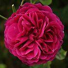 Magenta Bloom  by KirstyJSwinger