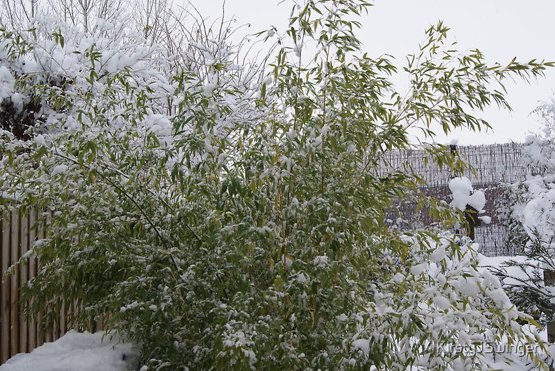 Snowy Bamboo  by KirstyJSwinger