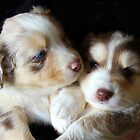 Adorable Australian Shepherd Puppies by vette