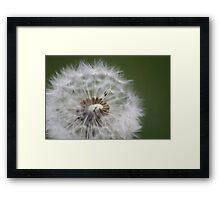 Dandelion seeds Framed Print