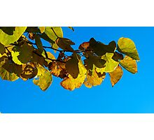 Redbud in Fall Photographic Print