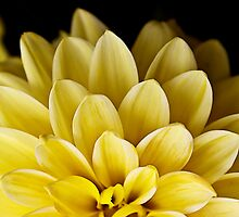 Yellow Dahlia by Ruth Valasini