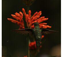 Hummingbird Wingspan Photographic Print