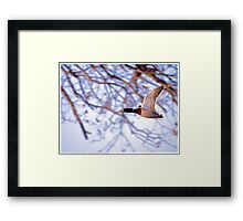 Flying Mallard 2013 Framed Print
