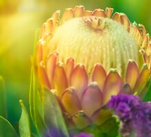 King Protea by Debbie Scott