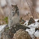 Grey Squirrel In The Snow by K D Graves Photography
