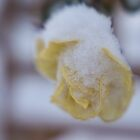 Survivor, Dec 4, Yellow Rose, Snow by rjcolby