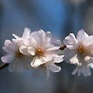 Winter Flowering Cherry Blossom by John Gaffen
