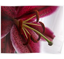 Macro Red Oriental Lily Poster