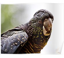 Red Tailed Black Cockatoo Poster