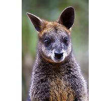 Suave Wallaby Photographic Print