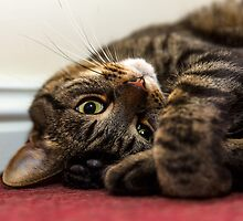 Tabby posing. by JASPERIMAGE