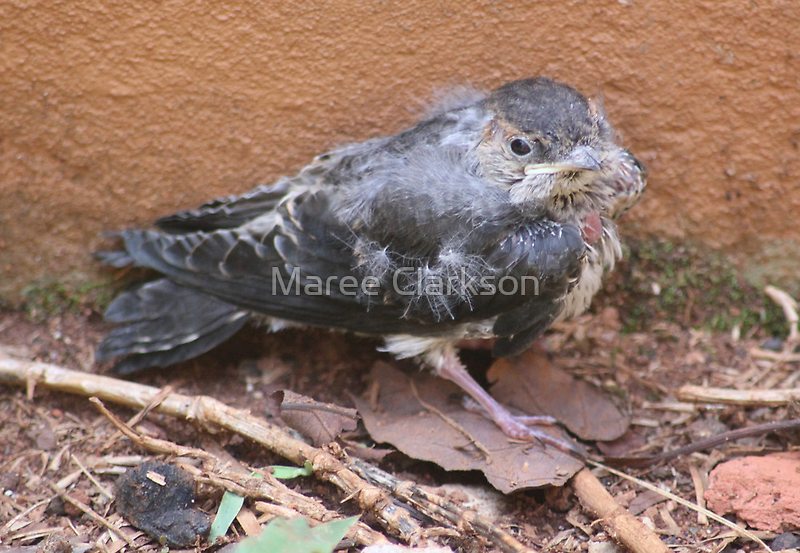 Greater Striped Swallow fledgling by Maree  Clarkson