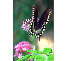 Black swallowtail Photographic Print