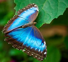 Blue butterfly by nadeget