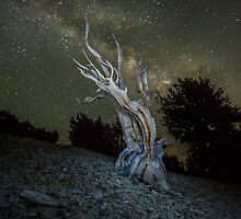 Ancient Bristlecone Pine in the White Mountain by Jerome Obille