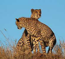 Cheetahs searching by corrado