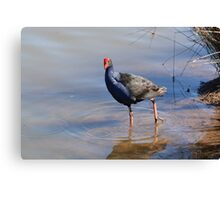 Blue Brested Water Fowl Canvas Print