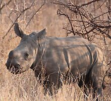 Young white rhino by corrado
