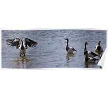 Magpie Geese Individual. Poster