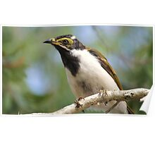 Blue Faced Honeyeater - Juvenile. Poster