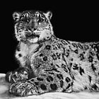 Snow King - snow leopard by Heather Ward