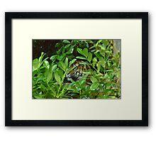 tiger in undergrowth Framed Print