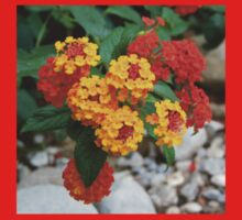 Macro Of Shrub Verbenas or Lantanas (Lantana Camara)  Kids Clothes
