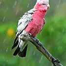 Galah Having His Afternoon Shower. Cedar Creek, Qld, Australia. by Ralph de Zilva
