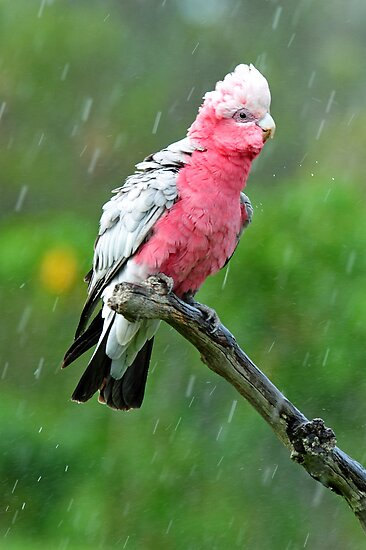 Galah Having His Afternoon Shower. Cedar Creek, Qld, Australia. by Ralph de Zilva
