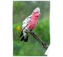Galah Having His Afternoon Shower. Cedar Creek, Qld, Australia. Poster