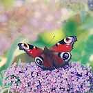 Red Admiral Butterfly   by clare barton