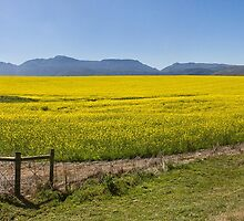 Canola field by FlatWhiteImages