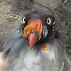 King Vulture by Steve Hunter