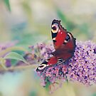 Red Admiral Butterfly 2 by clare barton