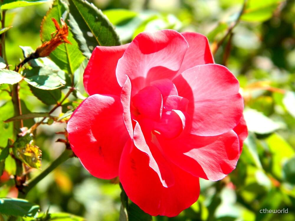 Single Rose by ctheworld