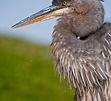 Great Blue Heron by Heron-Images